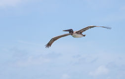 Brown Pelican Soaring Abov e Marathon Key Royalty Free Stock Photography
