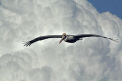 Brown pelican soaring with cumulonimbus clouds, Florida. Stock Photo