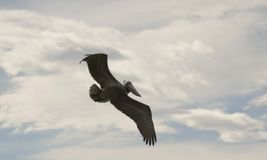 A Brown Pelican Soaring in a Partly Cloudy Sky Royalty Free Stock Image