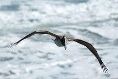 Brown Pelican soaring over ocean Royalty Free Stock Photography