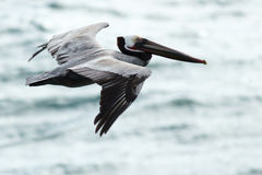 Brown Pelican soaring over ocean Stock Images