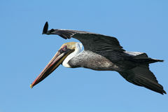 Brown pelican soaring over the ocean in Florida. Stock Photos