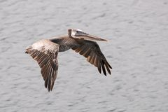 A brown pelican soars over ocean water. Royalty Free Stock Photos