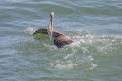 Brown Pelican Splash Royalty Free Stock Photo