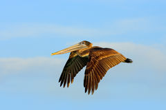 Brown Pelican splashing in water. bird in the dark water, nature habitat, Florida, USA. Wildlife scene from ocean. Brown pelican i Royalty Free Stock Photography