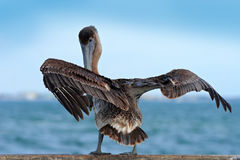 Brown Pelican splashing in water. bird in the dark water, nature habitat, Florida, USA. Wildlife scene from ocean. Brown pelican i Royalty Free Stock Photos