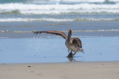 Brown Pelican spreading a wing on Playa Hermosa, Nicaragua. royalty free stock photos