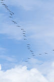 Brown pelican squad in flight Royalty Free Stock Photography