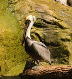 Brown pelican standing Royalty Free Stock Photo
