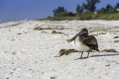 Brown Pelican standing on a beach Stock Images
