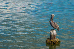 Brown Pelican. Standing on old piling stock image