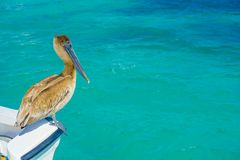 Brown pelican standing over a boat, in Puerto Morelos in Caribbean sea next to the tropical paradise coast.  Stock Photos