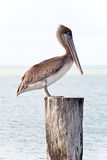 Brown pelican standing on a pier post Stock Image