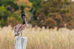 Brown Pelican Standing on Pylon Royalty Free Stock Photos