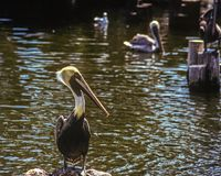 A Brown Pelican is standing on a rock at Busch Gardens. A pond and other birds are behind it royalty free stock photo