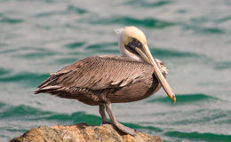 Brown Pelican 4 Royalty Free Stock Image
