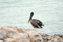Brown pelican standing on the rocks Royalty Free Stock Image