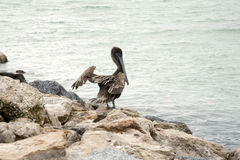 Brown pelican standing on the rocks Stock Image