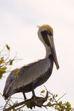 Brown Pelican Posing on Tree Branch Stock Photography