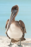 Brown pelican standing on a tropical shoreline Royalty Free Stock Photography