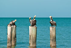 Brown Pelican standing on a tropical shoreline pilings Royalty Free Stock Images