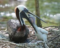 Free Brown Pelican Stock Photos.  Brown Pelican Bird With Baby Pelican.  Baby Bird Close-up View Pelican Feeding. Royalty Free Stock Photo - 165216525
