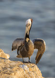 A Brown Pelican stretches its wings on a cliff overlooking the P Royalty Free Stock Images