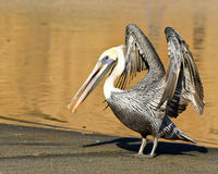 Brown Pelican Stretching. Brown pelican flapping its wings on a beach in Point Reyes National Seashore, California Stock Photos