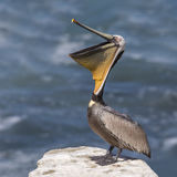 Brown Pelican stretching its pouch open - San Diego, California Stock Photos