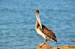 Brown pelican sunning himself Royalty Free Stock Photo
