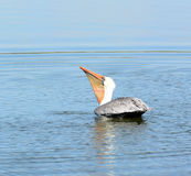 Brown Pelican Swallowing His Catch. Stock Image