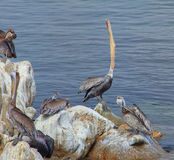 Brown Pelican Swallowing Stock Image