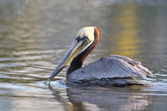 Brown Pelican Swimming Stock Photo