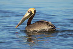 Brown Pelican Swimming Royalty Free Stock Photo