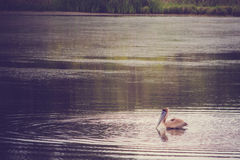Brown Pelican Swimming Stock Photography