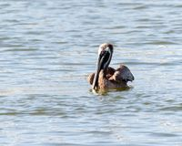 Brown pelican swimming. Brown Pelican Pelecanidae Chordata floating on the sea water, in horizontal orientation with copy space for text stock image