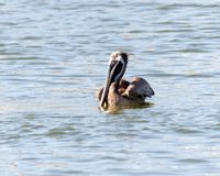 Brown pelican swimming. Brown Pelican Pelecanidae Chordata floating on the water, horizontal with copy space for text royalty free stock photography