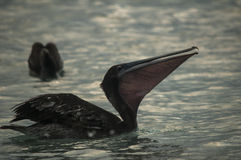 Pelican in water Stock Photos