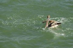 Brown pelican swimming Stock Image