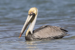 Brown Pelican Swimming in the Gulf of Mexico - Florida Royalty Free Stock Photos