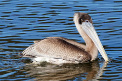 Brown Pelican Swimming Royalty Free Stock Image
