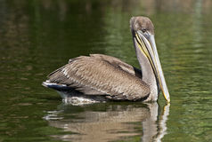 Brown pelican swimming in a lake Royalty Free Stock Images