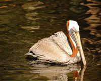 Brown Pelican swimming. In the river Stock Photos