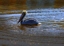 A brown pelican swimming in the river Royalty Free Stock Photo