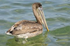 Brown pelican swimming in the sea Royalty Free Stock Images