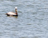 Brown Pelican swimming on the water Stock Image