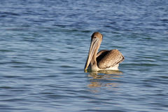Brown Pelican Swimming Stock Photo