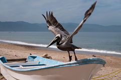 Brown pelican takes off Royalty Free Stock Photos