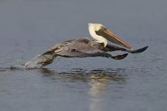 Brown Pelican taking flight from a lagoon - Fort De Soto Park, F royalty free stock photography