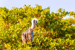 Brown Pelican on the tree in Galapagos Islands Royalty Free Stock Image